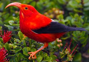 Iiwi bird s300