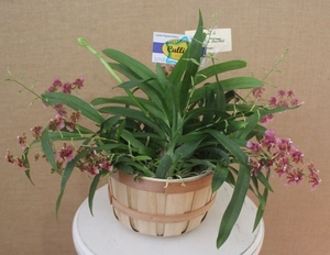 Orchid sm in basket s300