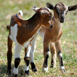Baby goats s300